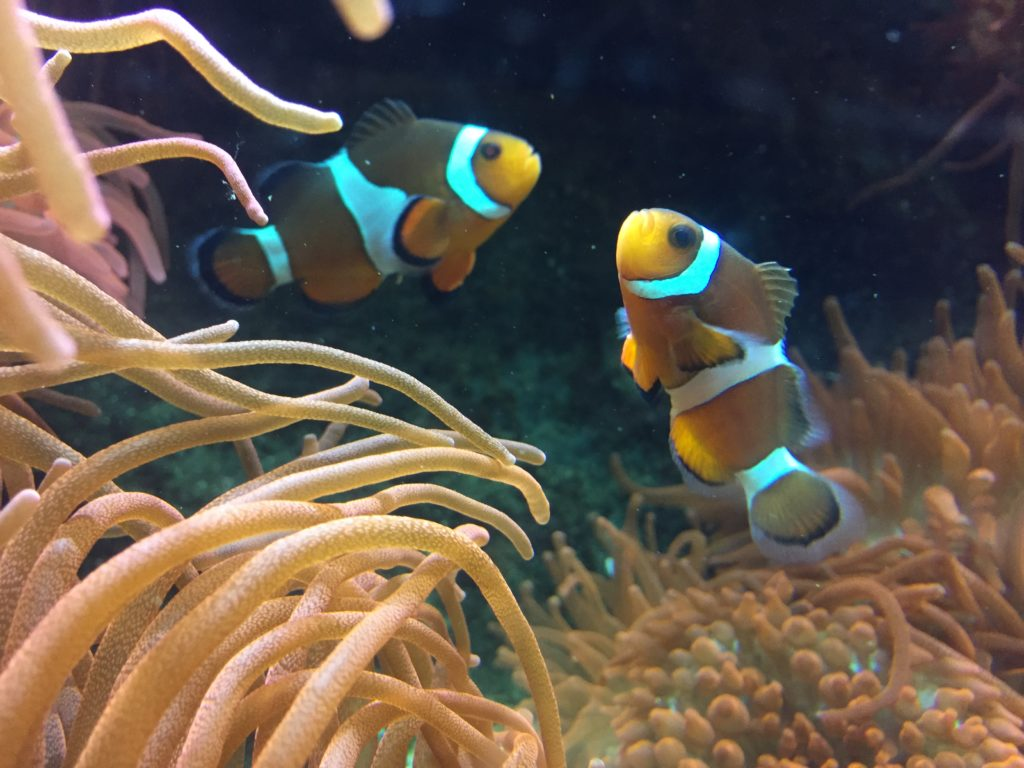 Clown Fish at Plymouth Aquarium